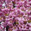 Arbre en fleurs à Montbéliard (25)