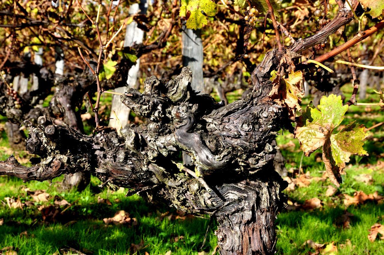 Pied de vigne à Roullet Saint Estèphe - Charente - Novembre 2012