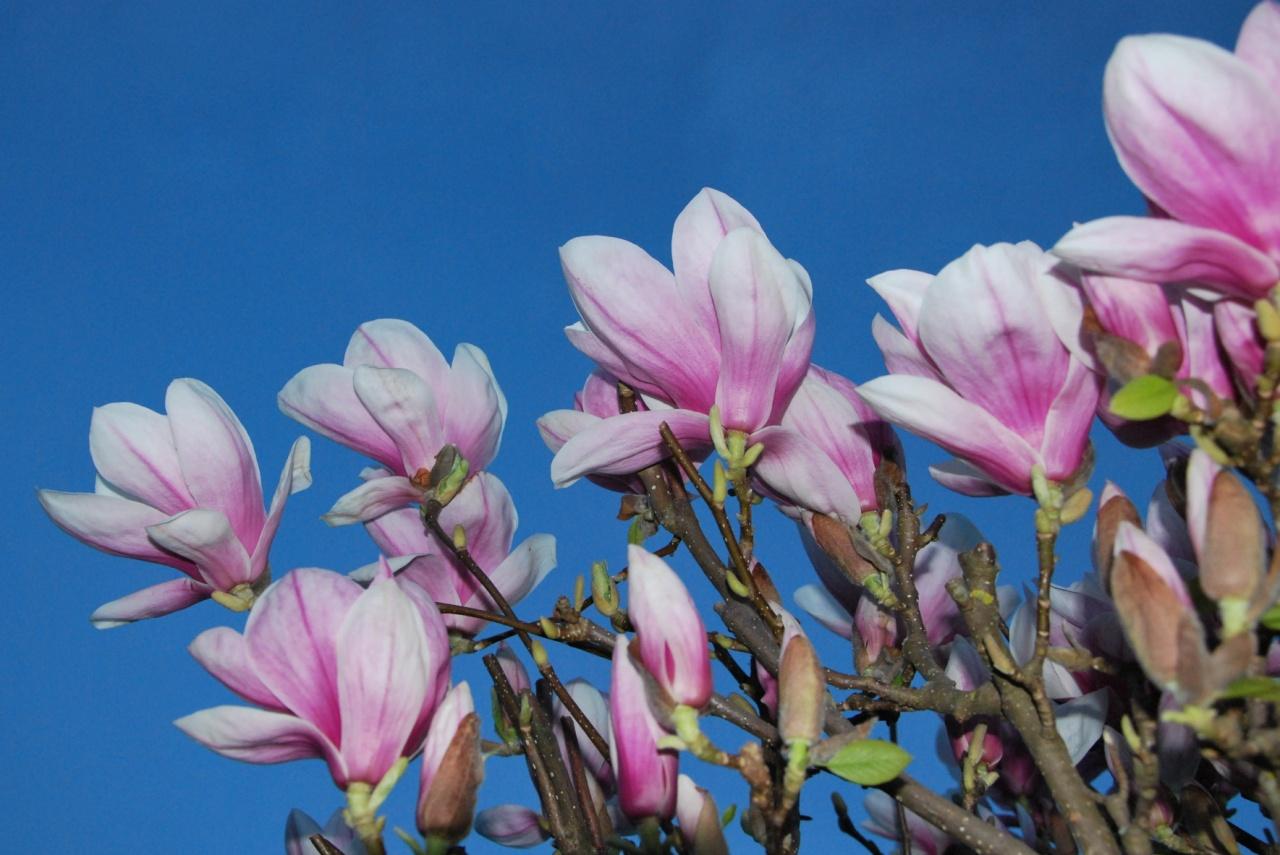 Fleurs de magnolia au printemps - Doubs - Avril 2009