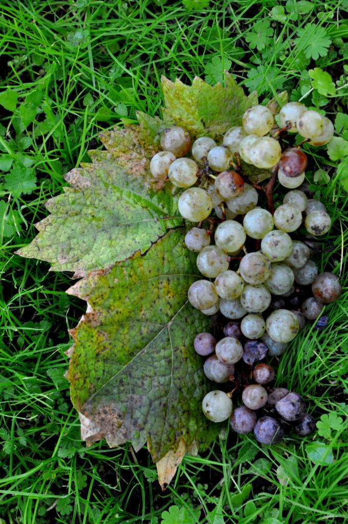 Grappe de raisin en Charente - Novembre 2012