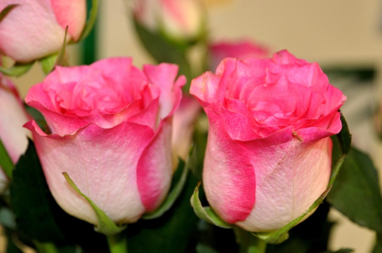 Roses pour la Saint Valentin - Doubs - Février 2011
