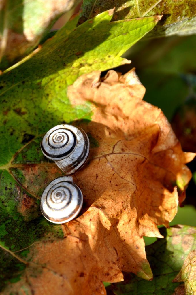 Feuille de vigne en Charente - Novembre 2012