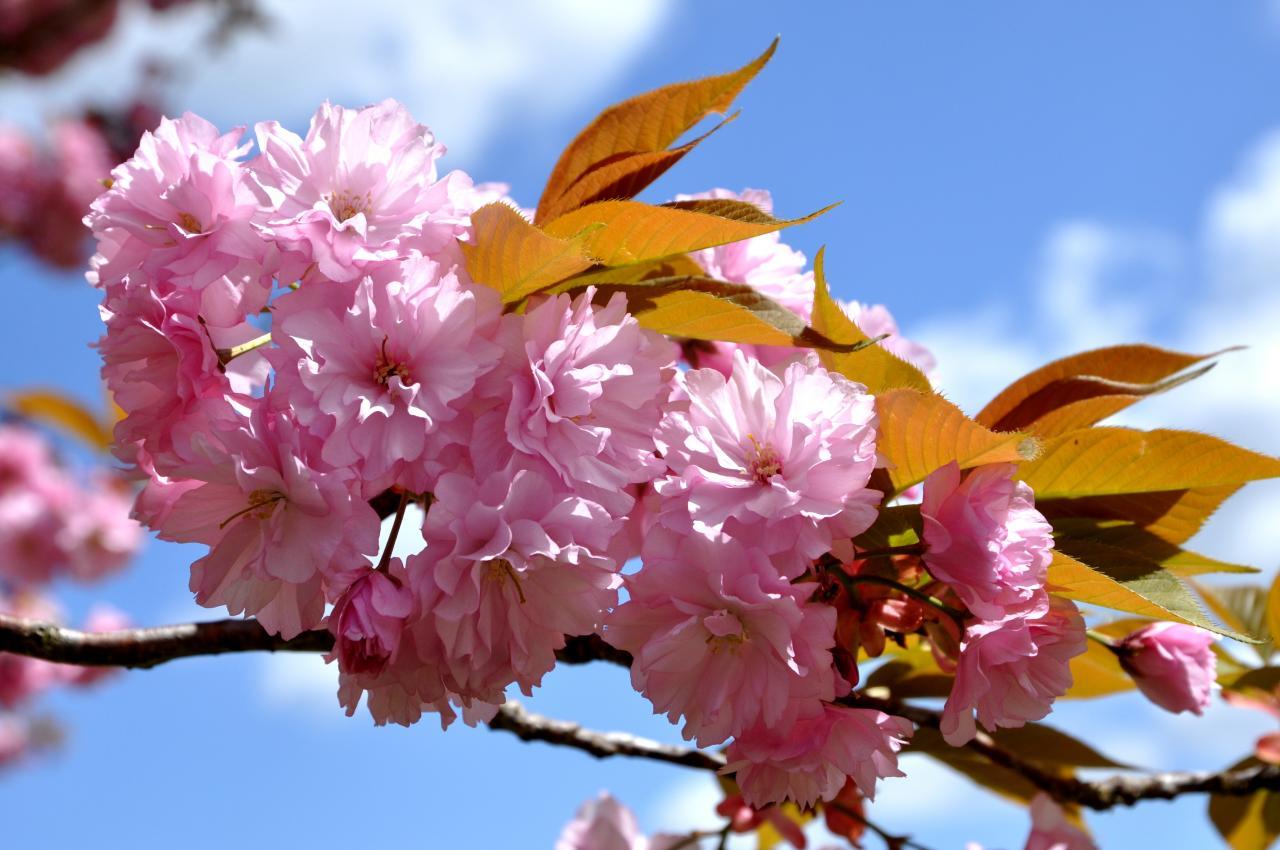 Pommier au printemps en Charente - Avril 2013