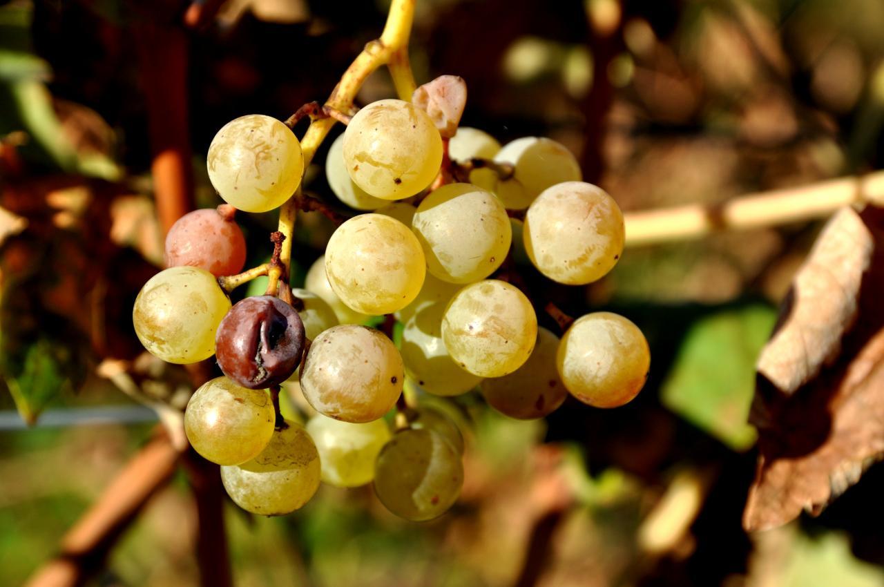 Vignoble à Roullet Saint Estèphe - Charente - Novembre 2012