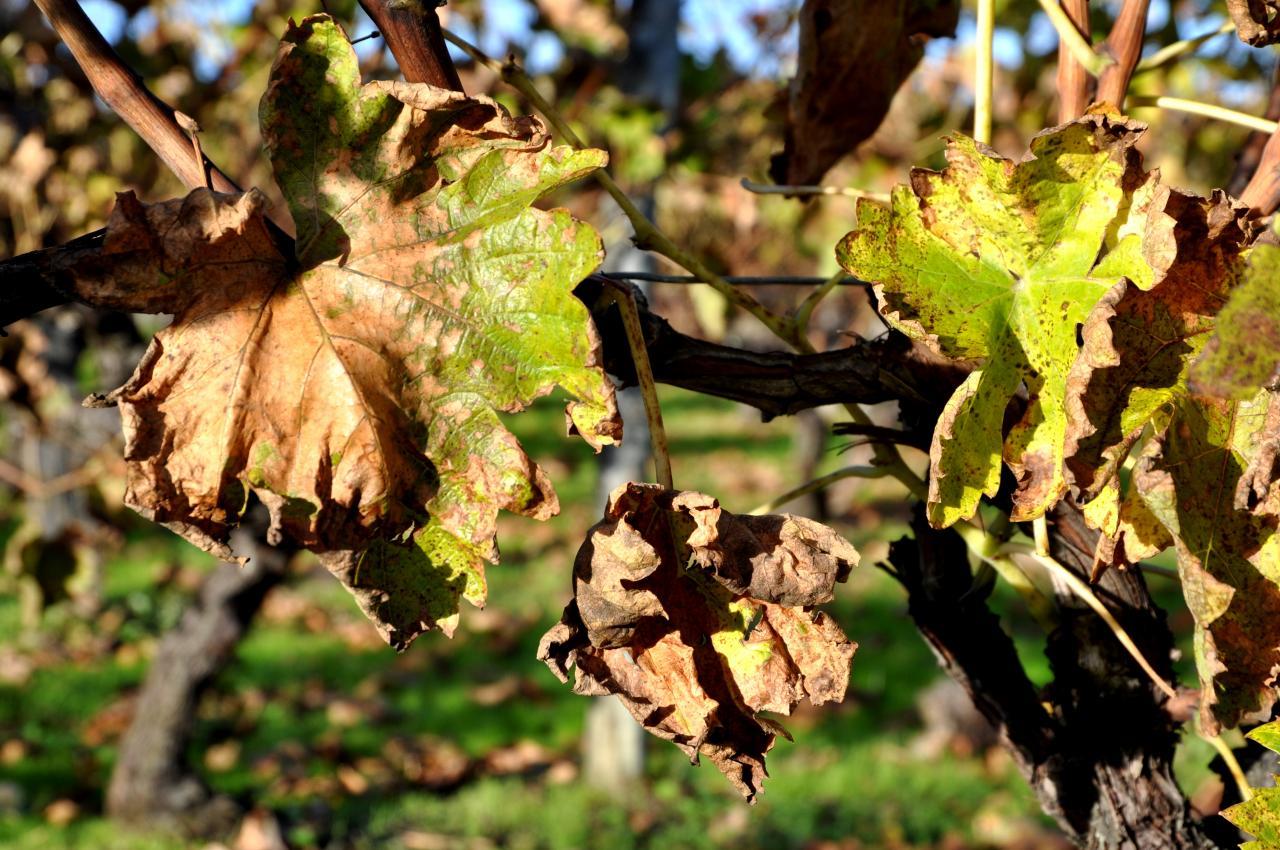 Feuilles de vigne en Charente - Novembre 2012