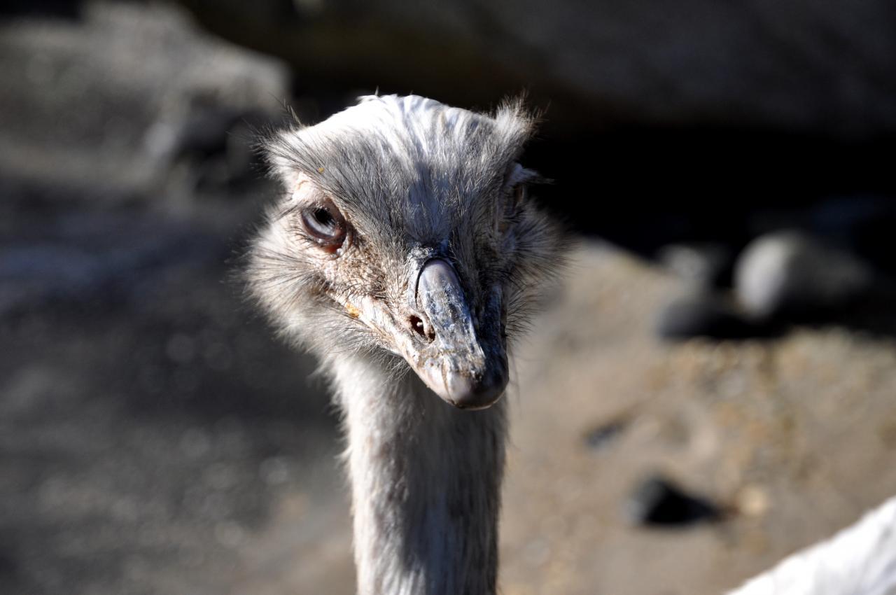 Autruche au zoo de La Palmyre - Octobre 2012
