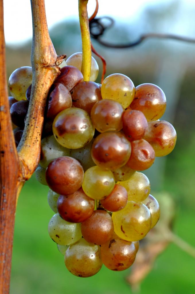 Grappe de raisin à Roullet Saint Estèphe - Charente - Novembre 2012