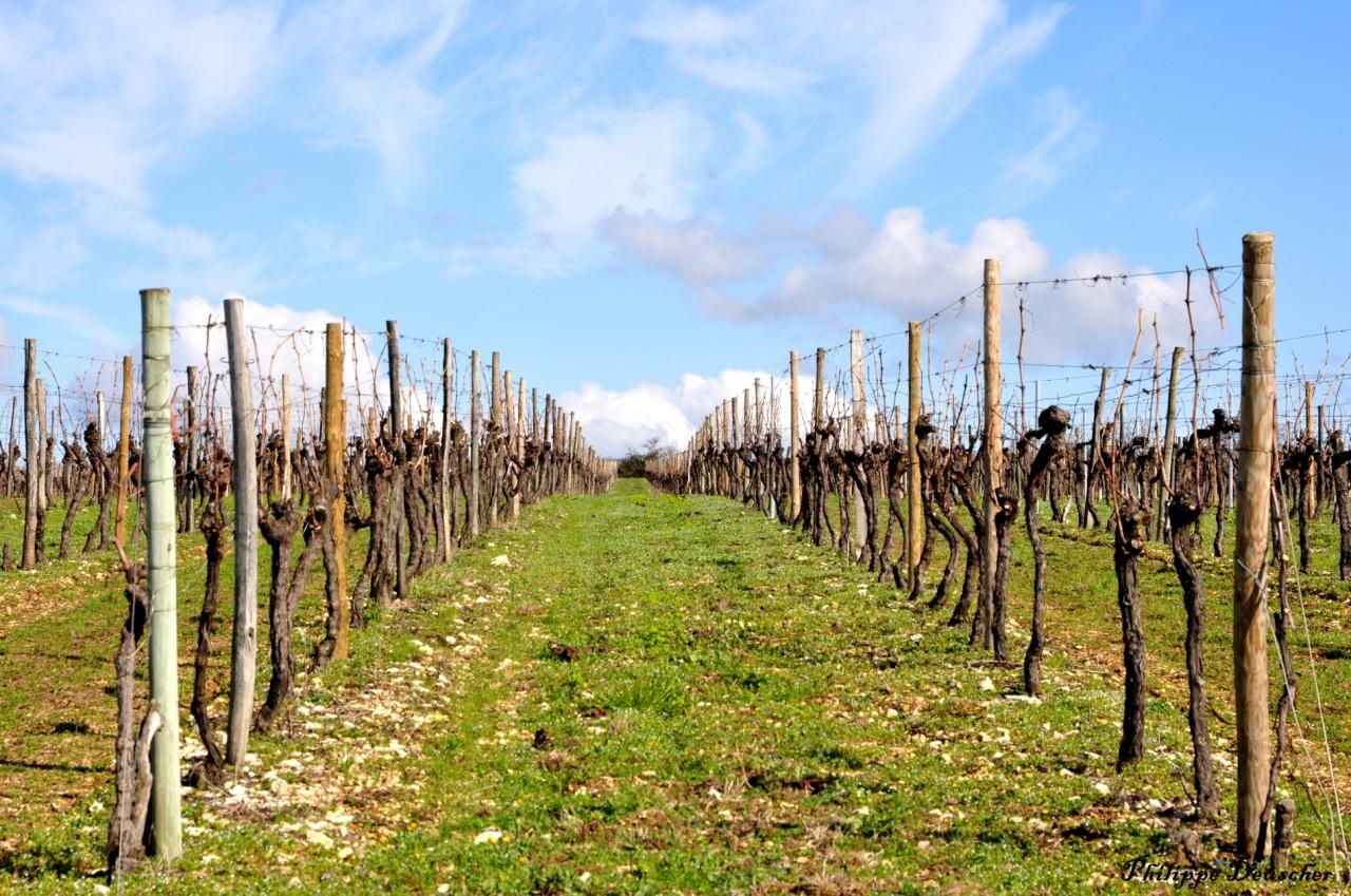 Vignes au printemps à Cognac - Charente - Mars 2011