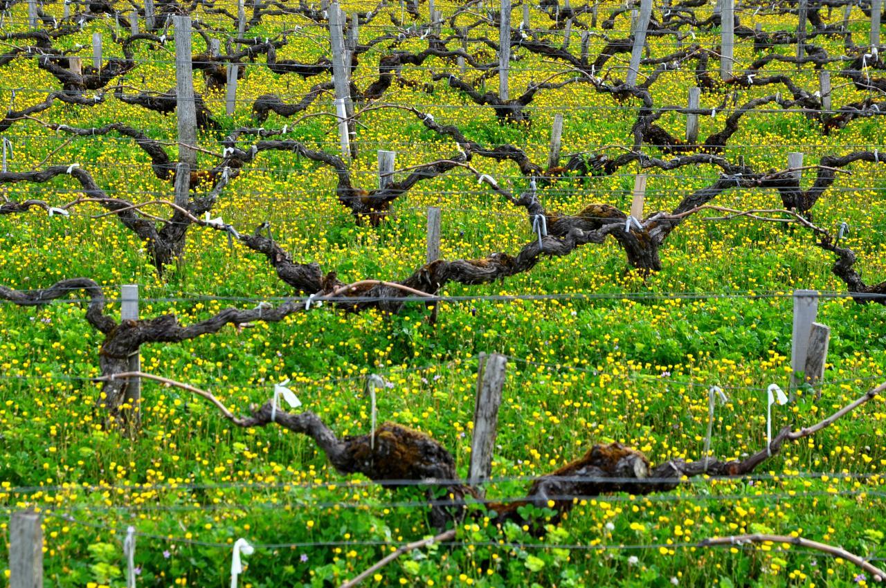 Vignes dans le Bordelais - Gironde - Avril 2013