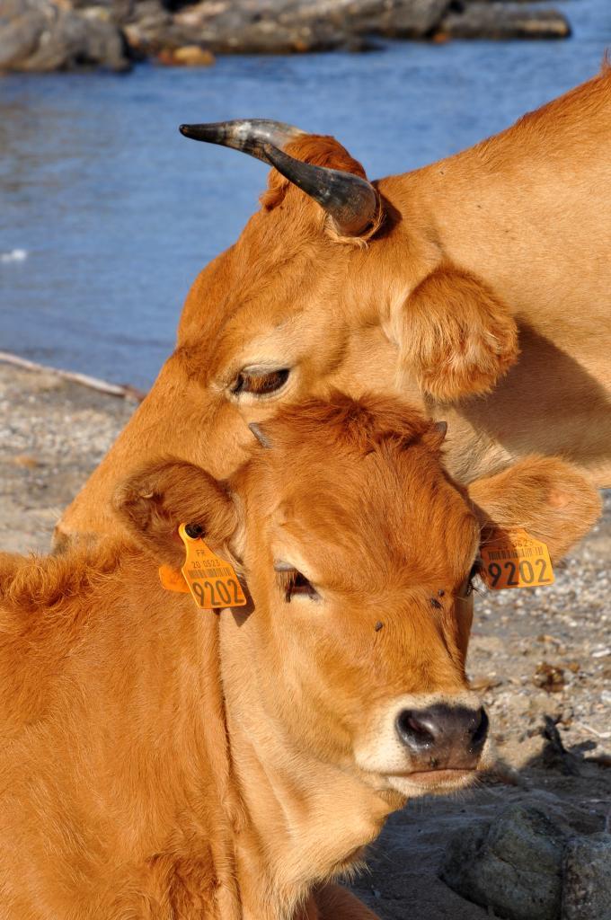 Vache et son veau à la plage de Santa Maria - Cap corse - Août 2013