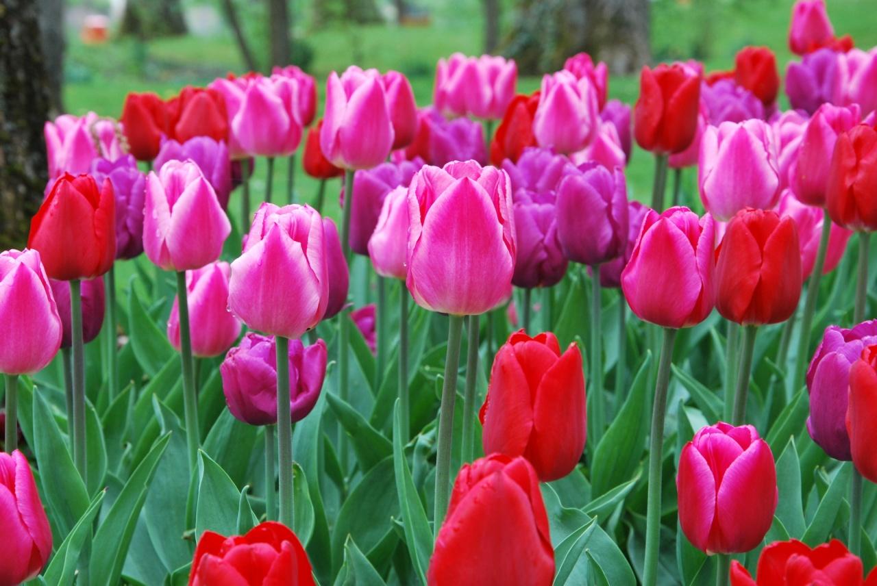 Tulipes au parc du Près La Rose à Montbéliard - Doubs - Avril 2009