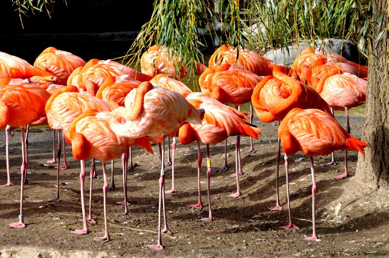Flamants roses au zoo de La Palmyre - Charente maritime - Octobre 2012
