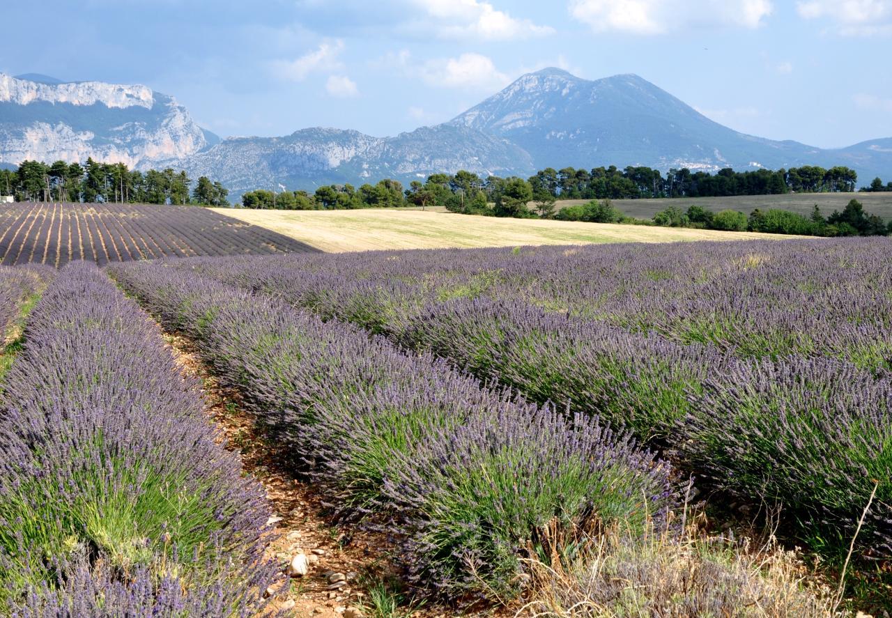 Plateau de Valensole - Alpes de Haute Provence - Juillet 2015