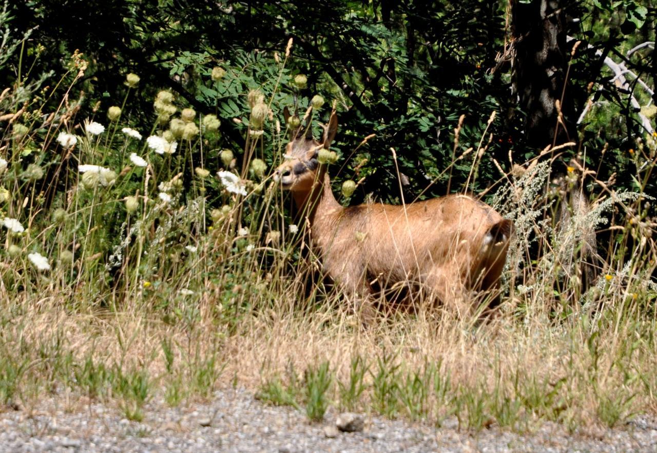 Chamois dans les Alpes maritimes - Juillet 2015