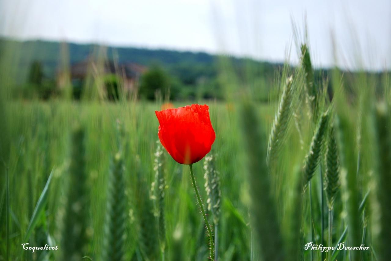 Coquelicot dans un champ à Mathay - Doubs - Mai 2009