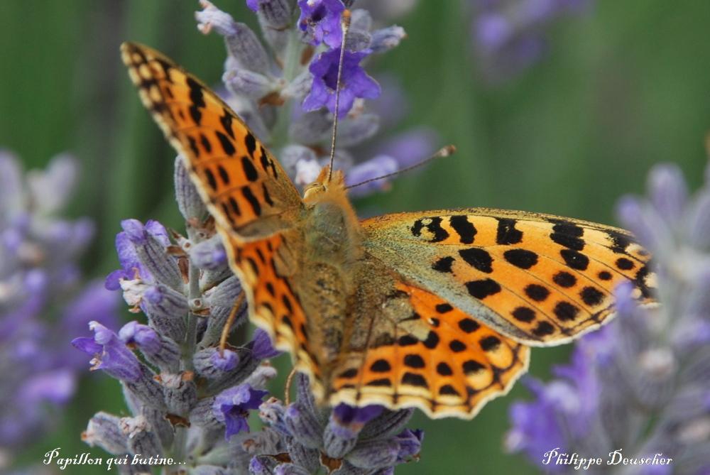 Papillon qui butine - Doubs - Juillet 2009