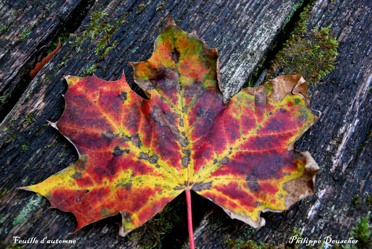 Feuille d'automne à Colombier Fontaine - Doubs - Octobre 2009