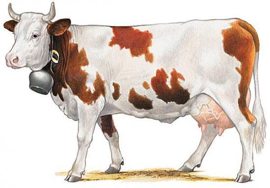 Vache de la race montbéliarde