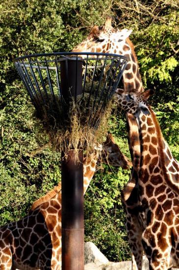 Girafes au zoo de La Palmyre - Charente maritime - Octobre 2012