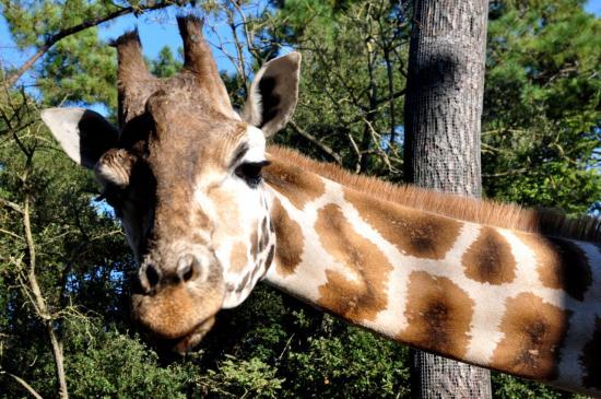 Girafe au zoo de La Palmyre - Charente maritime - Octobre 2012