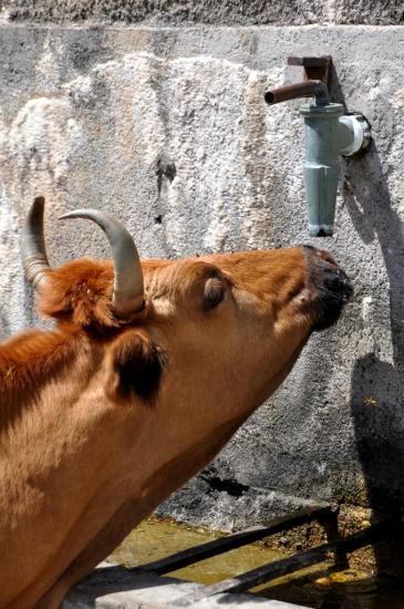 Vache corse à Mostifao - Haute Corse - Août 2013