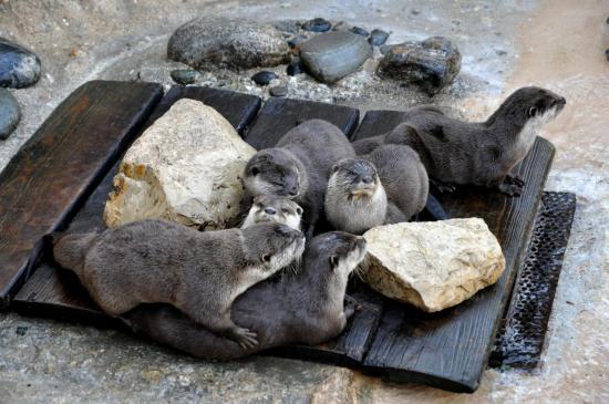 Loutres au zoo de La Palmyre - Charente maritime - Octobre 2012