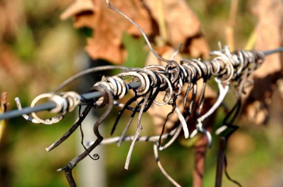 Sarments de vigne à Roullet Saint Estèphe - Charente - Octobre 2012