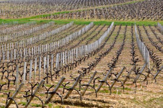 Vignoble aux alentours de Blaignan - Gironde - Avril 2013