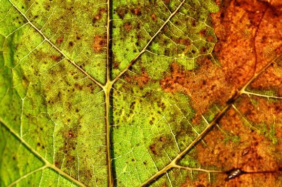 Feuille de vigne à Roullet Saint Estèphe - Charente - Novembre 2012