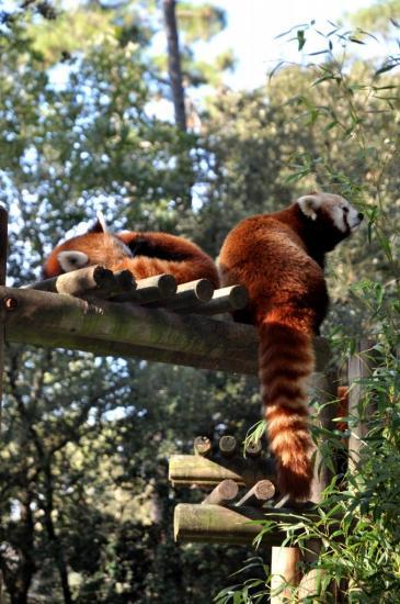 Pandas roux au zoo de La Palmyre - Charente maritime - Octobre 2012