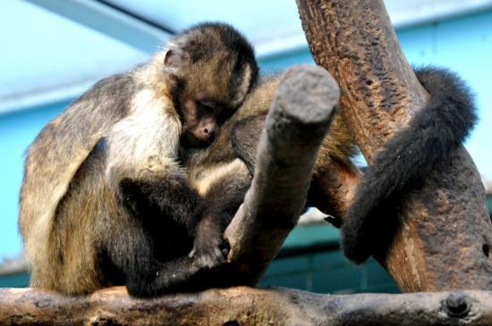 Singes au zoo de La Palmyre - Charente maritime - Octobre 2012