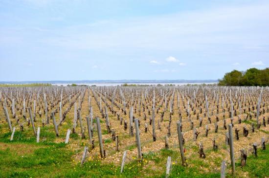 Vignoble dans le Haut Médoc - Gironde - Avril 2013