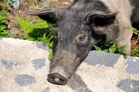 Cochon semi-sauvage aux alentours de Morsaglia - Haute Corse - Août 2013