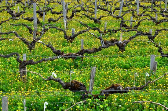 Vignoble à Saint Estèphe - Gironde - Avril 2013