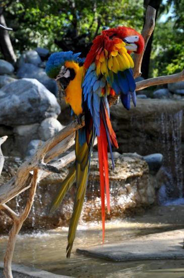 Aras au zoo de La Palmyre - Charente maritime - Octobre 2012