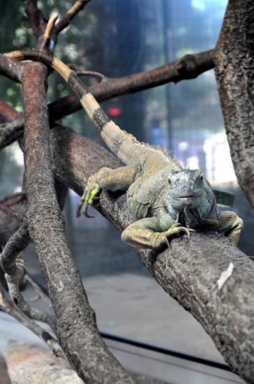 Iguane au zoo de La Palmyre - Charente maritime - Octobre 2012