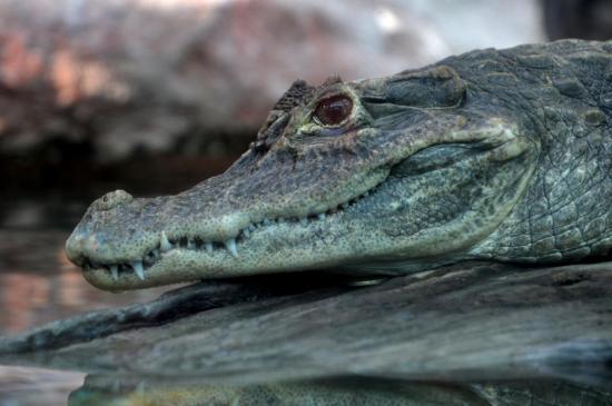 Crocodile au zoo de La Palmyre - Charente maritime - Octobre 2012