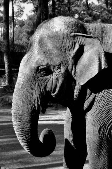 Eléphant au zoo de La Palmyre - Charente maritime - Octobre 2012