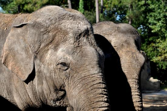 Eléphants au zoo de La Palmyre - Charente maritime - Octobre 2012