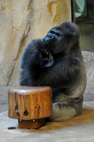 Gorille au zoo de La Palmyre - Charente maritime - Octobre 2012