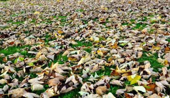 Tapis de feuilles mortes à Maillezais - Sud Vendée - Octobre 2013