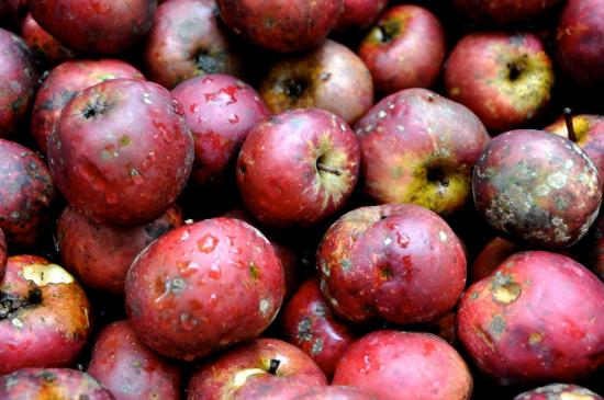 Pommes fraîchement cueillies à Marthon - Charente - Octobre 2013