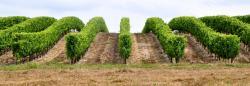 Vignoble à Roullet Saint Estèphe - Charente - Juillet 2014