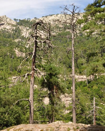 Forêt d'Aïtone - Corse du sud - Août 2014