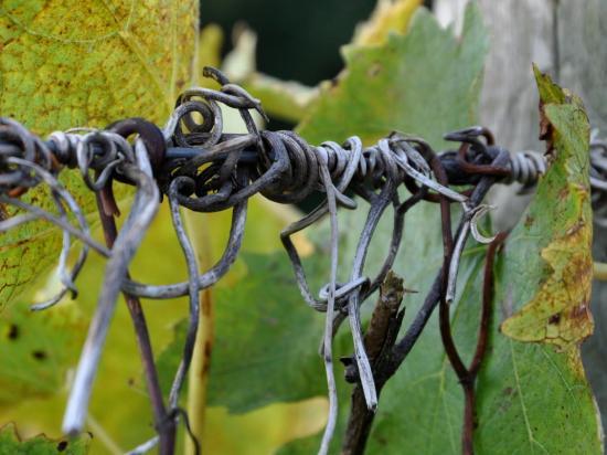 Sarment de vigne à Roullet Saint Estèphe - Charente - Octobre 2013