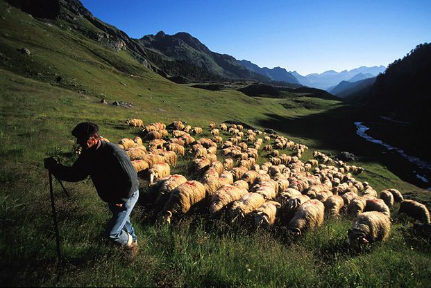 Transhumance en Corse du sud